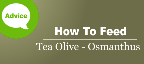 How To Fertilize And Water A Tea Olive Osmanthus Shrub Or Tree